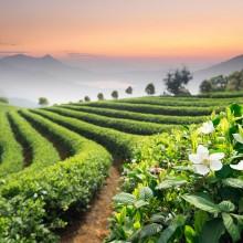 018-tea-field